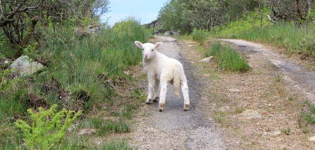 20 cheeky lamb, Ruth's coastal walk, Argyll, Scotland