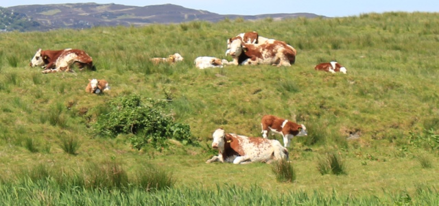 20 cows and calves, Ormsary, Ruth's coastal walk, Argyll, Scotland