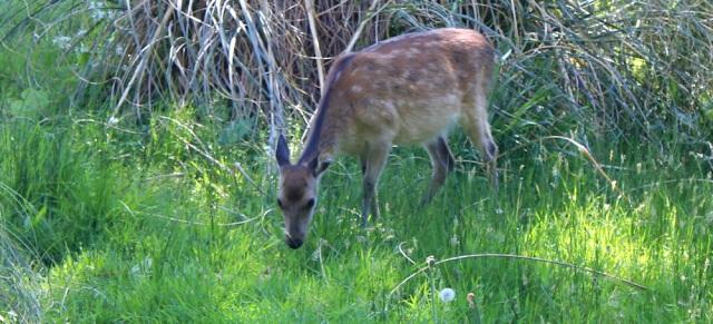 24 deer among the horses, Ruth's coastal walk, Knapdale, Scotland