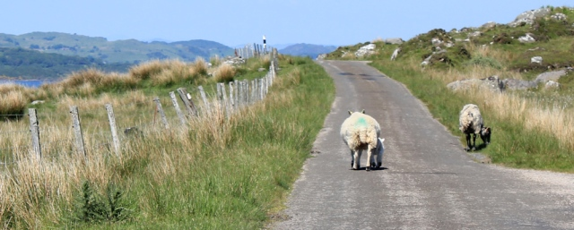 24 sheep and lambs on road to Castle Sween, Ruth's coastal walk, Argyll, Scotland