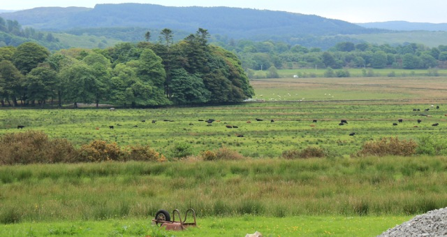 28 cattle in fields, Ruth hiking to Kilmartin, Argyll