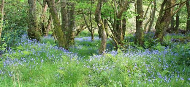 30 stunning bluebells, Caolisport, Ruth's coastal walk, Argyll, Scotland