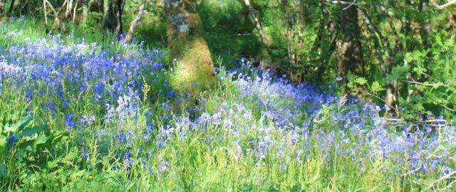 55 bluebells in woods at Achnamara