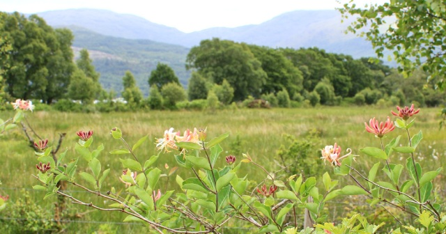 16 honeysuckle along road to Port Appin, Ruth Livingstone in Scotland