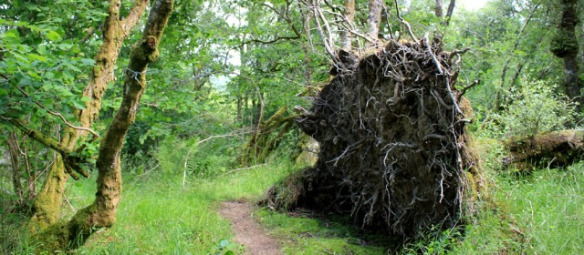 24 uprooted tree, Shian Wood, Ruth Livingstone