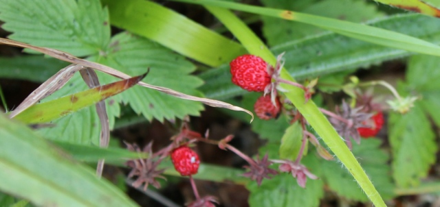 50 wild strawberries, Ruth's coastal walk around Scotland