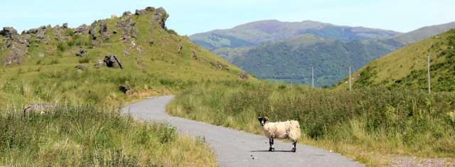 02 sheep on the Caledonia Way, Ruth's coastal walk around Scotland