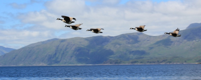10 geese, Cuil Bay, Ruth's coastal walk around Scotland