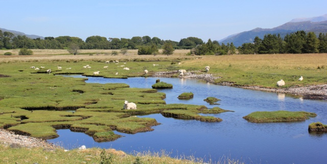 13 sheep on marshy land, Ruth's coastal walk around Scotland