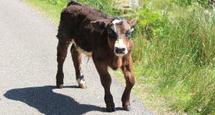 14 injured calf, Kingairloch, Ruth hiking around the Scottish coast