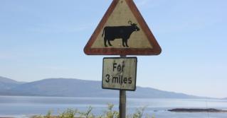 25 cows for three miles, Ruth's coastal walk around Scotland