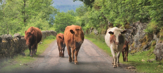 50 cows on road, A861, Loch Linnhe