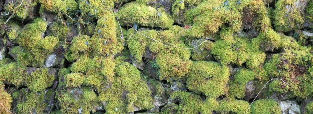 17 moss on stone wall, Ruth hiking the coast of Morvern Peninsula