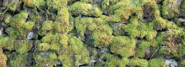 17 moss on stone wall, Ruth hiking the coast of Morvern Peninsula