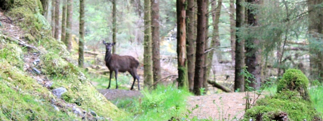 03 deer on path, Ruth's coastal walk, Loch Moidart