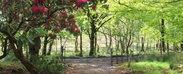 11 rhodies at Kinlochmoidart, Ruth's coastal walk around Scotland