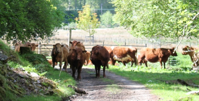 45 cattle guarding the gate, Ruth walking to Arisaig, Scotland