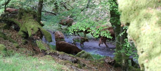 47 cows below me, Ruth walking to Arisaig, Scotland