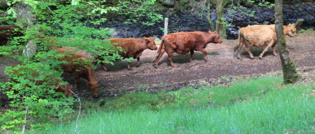 48 cows taking their time, Ruth walking to Arisaig, Scotland