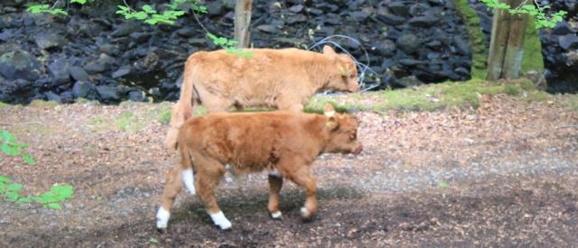 49 little calves, Ruth walking to Arisaig, Scotland