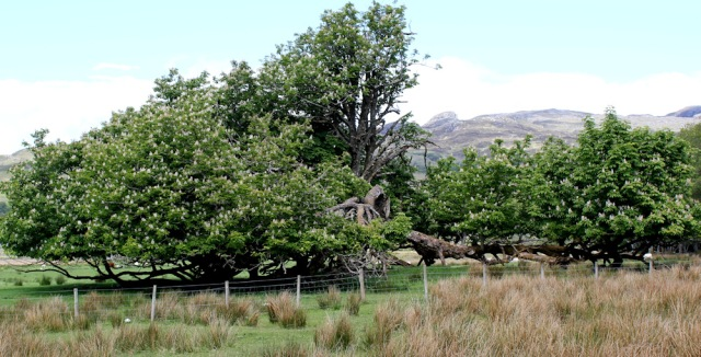 52 old horsechestnut tree, Ruth walking to Arisaig, Scotland