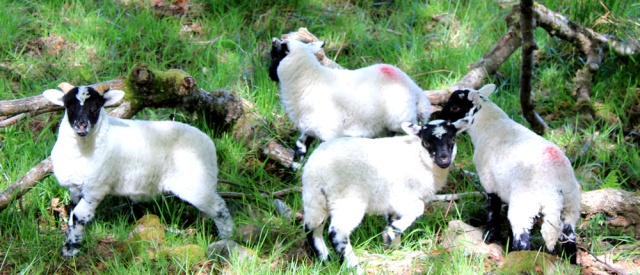 54 cheeky lambs, Ruth walking to Arisaig, Scotland