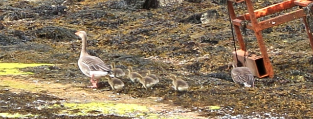 geese and goslings Loch Ailort, Ruth Livingstone