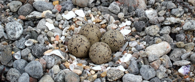 08 hard to spot eggs, Ruth's coastal walk, Knoydart, Scotland