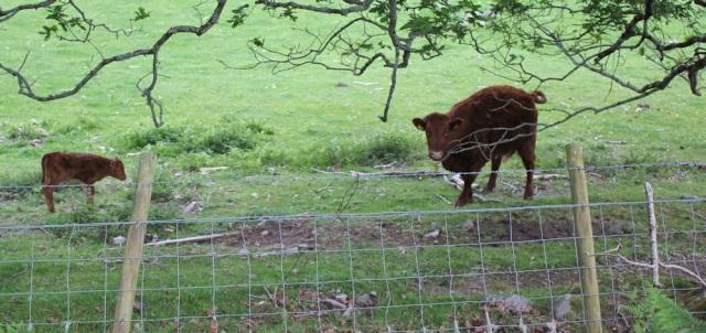 10 cow and calf, Ruth walking along the shore of Loch Morar