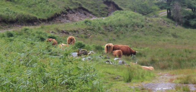21 cows across path, Ruth walking down Glen Arnisdale to Corran