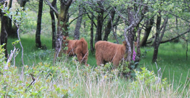 23 calves hidden among trees, Ruth walking down Glen Arnisdale to Corran