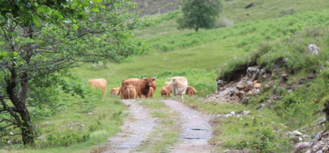 24 cows watching me, Ruth walking down Glen Arnisdale to Corran