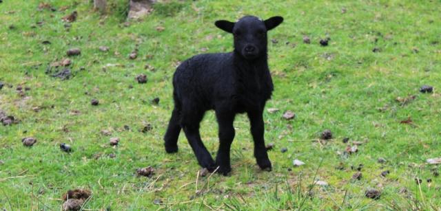 33 black sheep, Tarbet Bay, Ruth's coastal walk, Loch Nevis