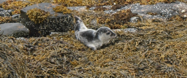 16 seal pup on shore, Badicaul, Ruth walking the coast of the Scottish Highlands