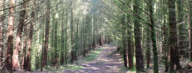 23 wide path through the horrible forest to Totaig, Ruth's coastal walk around Glenelg, Scotland
