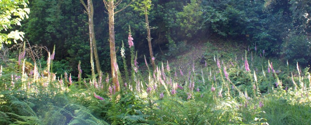 25 Foxgloves in the woods, Craig, Ruth hiking round the coast of Scotland
