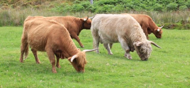 27 highland cattle, Duirinish, Ruth walking the coast of the Scottish Highlands