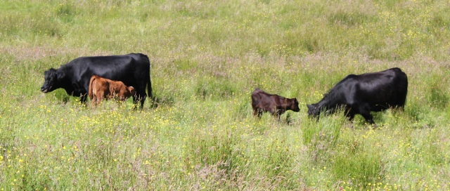 31 cows with calves in field, Loch Carron, Ruth's coastal walk around Scotland