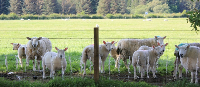 71 sheep in field, Ruth walking the shore of Loch Carron