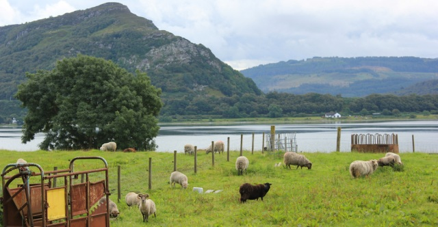 04 hello black sheep, Loch Carron, Ruth's coastal walk around Scotland