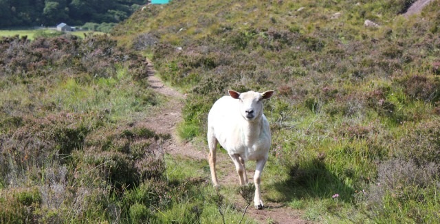 38 welcoming committee at Upper Toscaig, Ruth's coastal walk, Applecross Peninsula