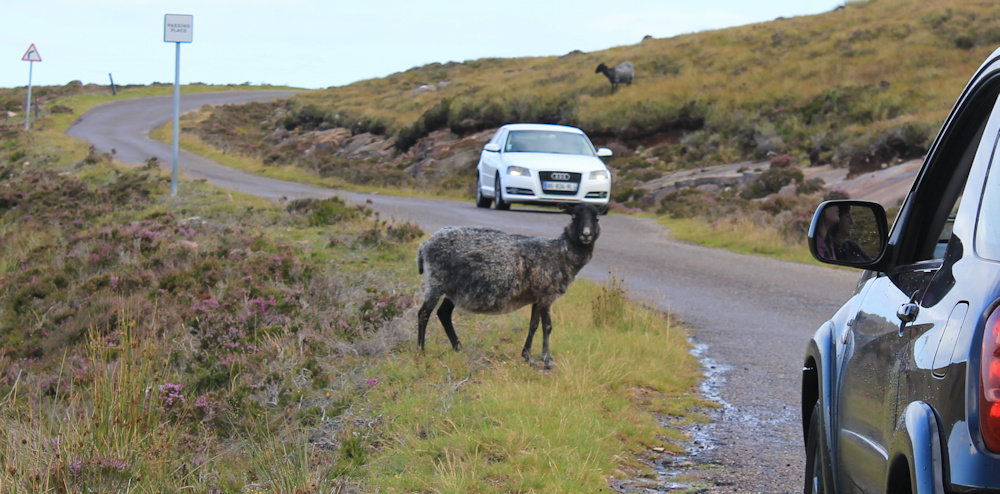 09 sheep on the road, Ruth hiking around the north of Applecross, Scotland