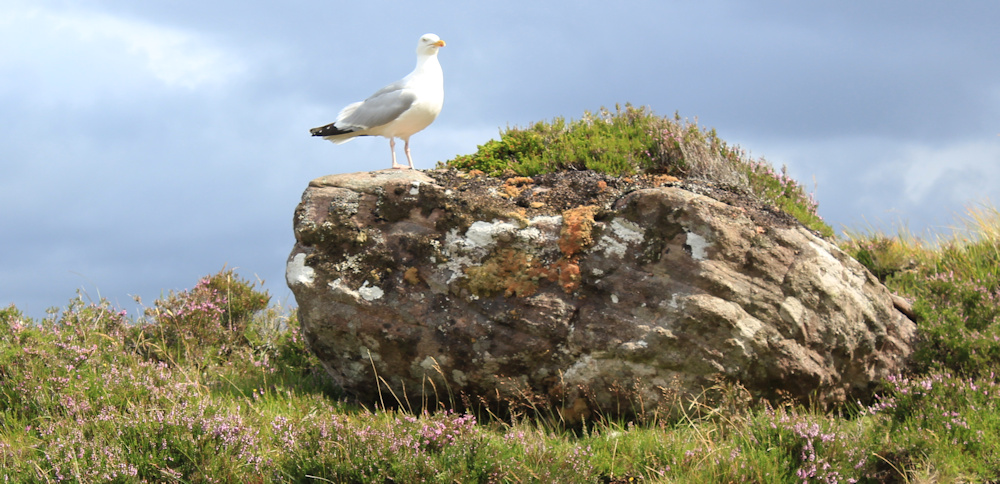 26 watched by seagull, Ruth hiking around the north of Applecross, Scotland