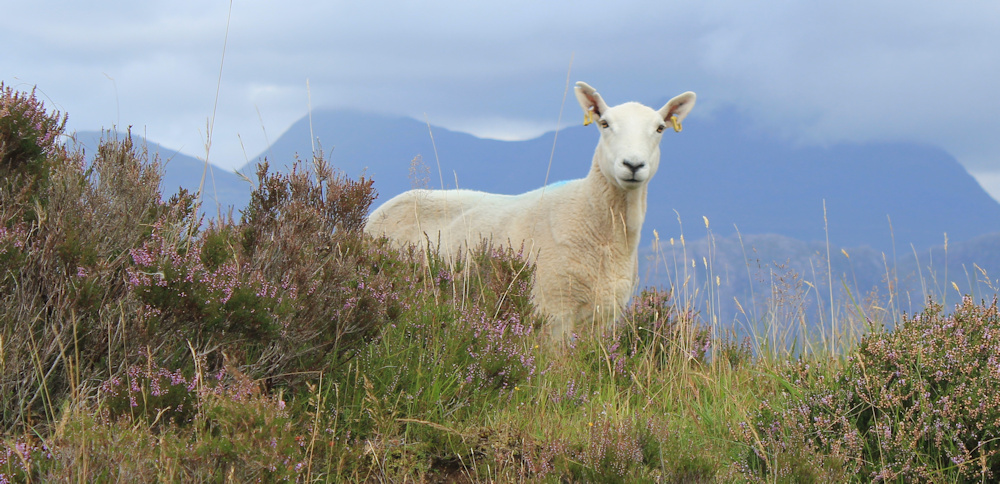 27 watched by sheep, Ruth hiking around the north of Applecross, Scotland