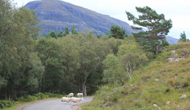 30 sheep on the road, Ruth walking the south bank of Loch Torridon, Scotland
