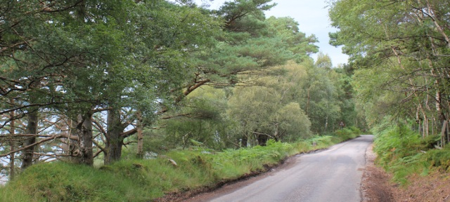 42 treelined road to Sheldaig, Ruth hiking the coast, Wester Ross, Scotland
