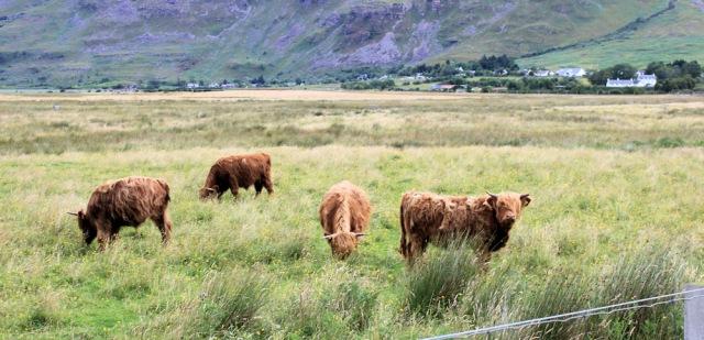006 Highland cattle Annat, Ruth walking the coast of north-west Scotland