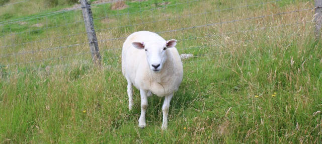 34 hello sheep, wrong side of fencee, Ruth walking the coast of NW Scotland